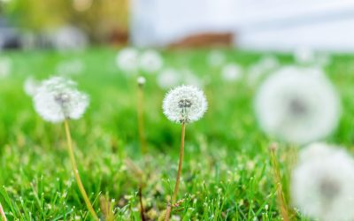 RIDDLE time! What do dandelions, money & scarcity have in common?